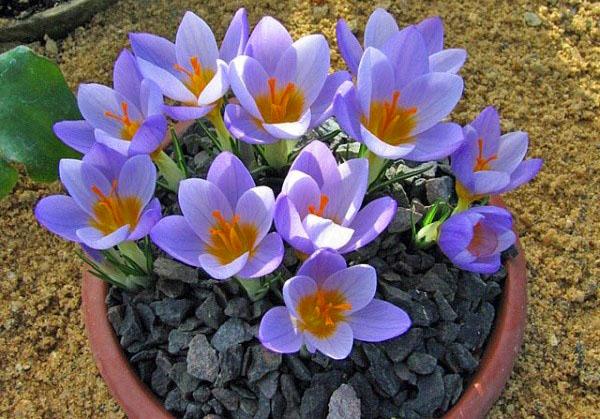 цветут крокусы