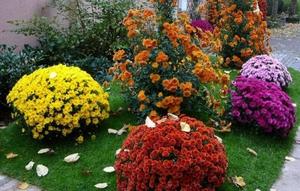 Выращивание хризантемы - особенности ухода за растением