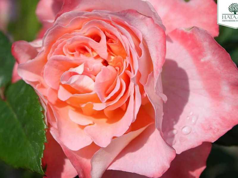 Как вырастить розу Аугуста Луиза