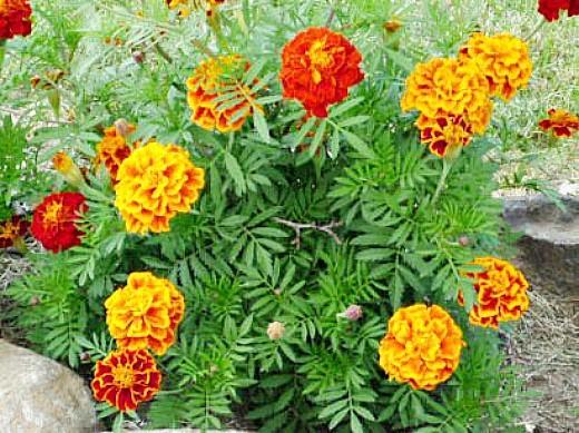 защита сада и огорода от вредителей - посадка бархатцев
