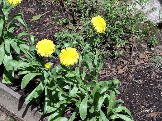 защита сада и огорода от вредителей - посадка календулы