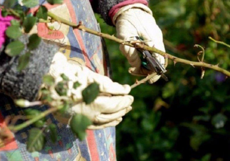 Обрезка кустовых роз