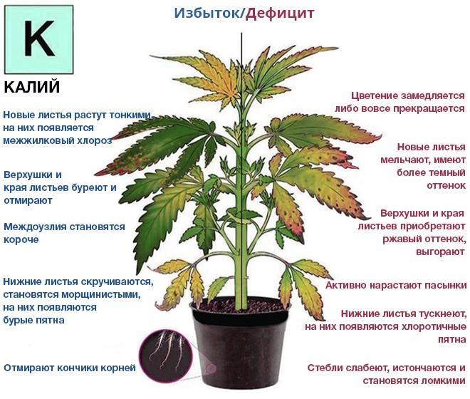 К чему приводит избыток и дефицит калия у растения