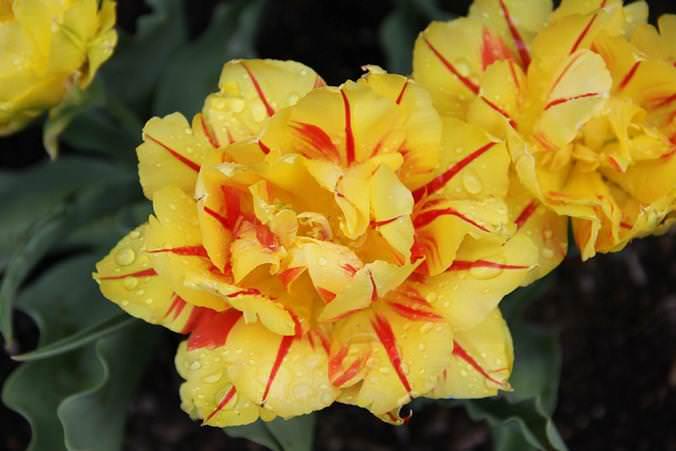 К категории раннерастущих тюльпанов, посадка которых производится осенью, относится сорт «Дабл»