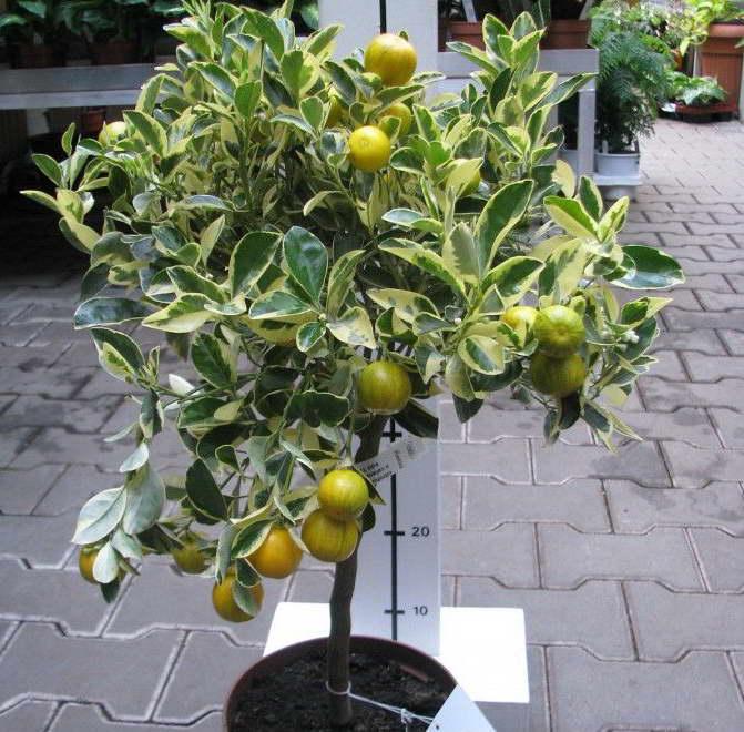 Каламондин вариегата citrofortunella microcarpa variegata фото