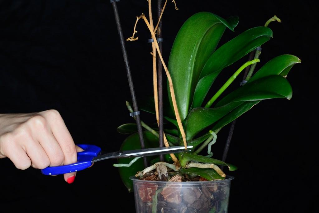 Обрезание высохшего цветоноса орхидеи