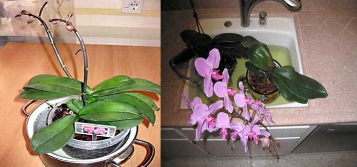 Полив орхидей путем помещения в емкость с водой