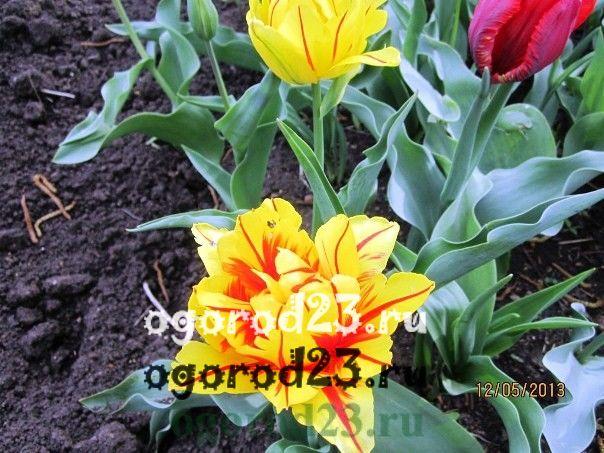 когда сажать тюльпаны 106
