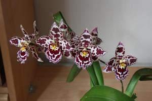 как ухаживать за орхидеей в домашних условиях после цветения фаленопсис