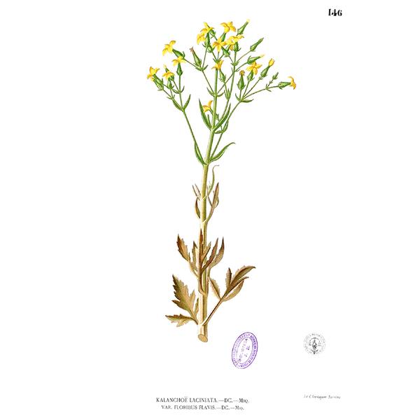Цветок Гёте на рисунке
