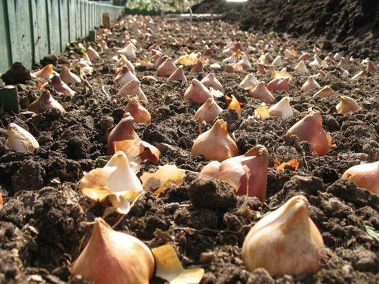 когда садить тюльпаны осенью в сибири