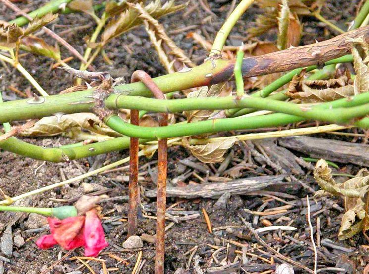 Кусты плетистой розы готовим к зиме