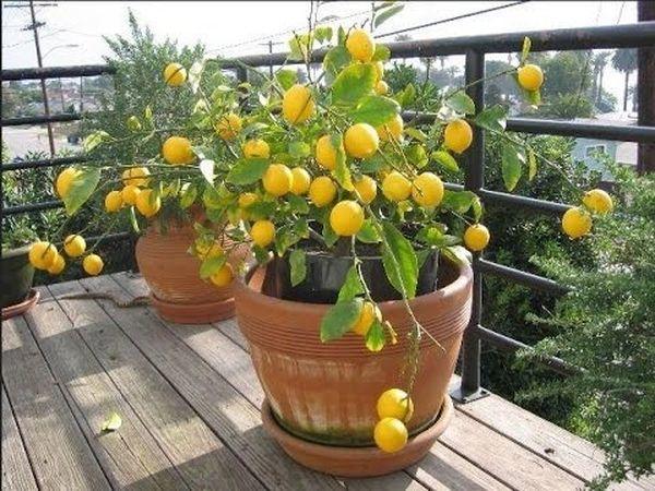 Лимон может болеть из-за зараженного грунта