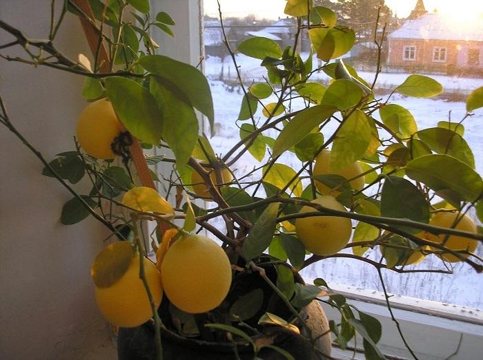 Пожелтевший лимонный куст