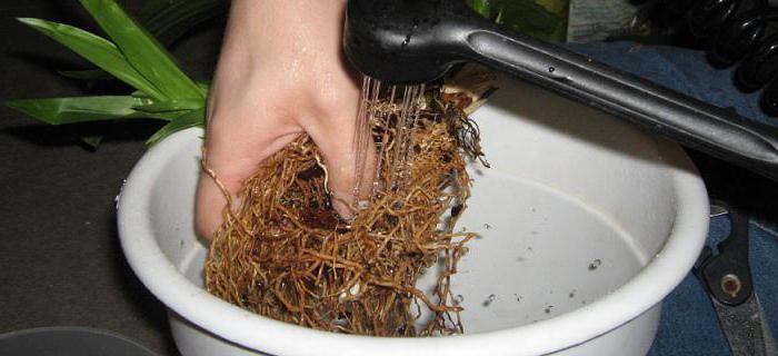 Промывание корней растения
