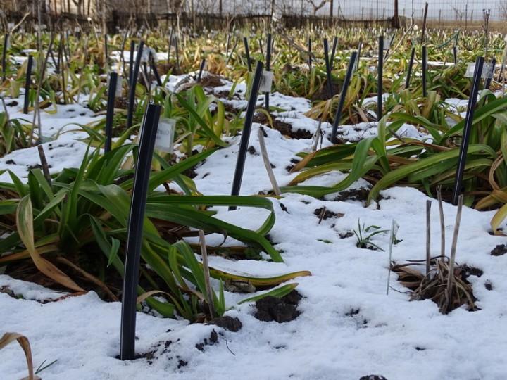 Лилейники зимой