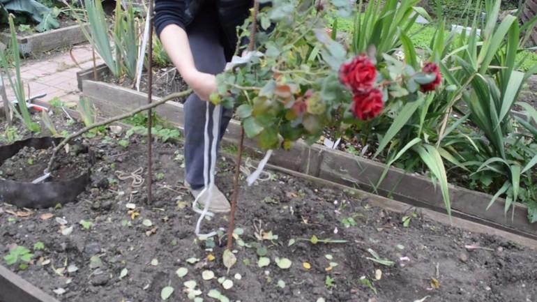 Правила укрытия штамбовых роз