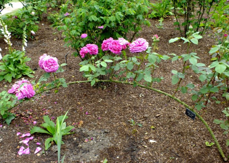 Как пригнуть розу перед зимой?
