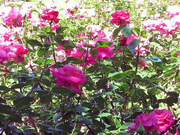 Выращивание кустовой розы в саду