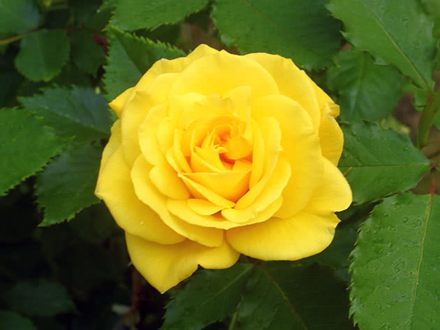 Желтый цветок садовой розы