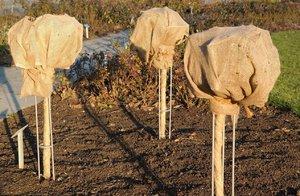 Штамбовые розы под джутовыми мешками