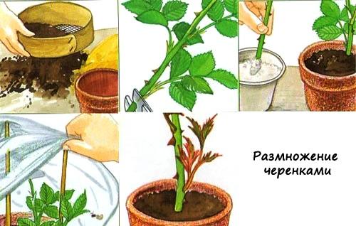 Схема размножения комнатных роз черенками