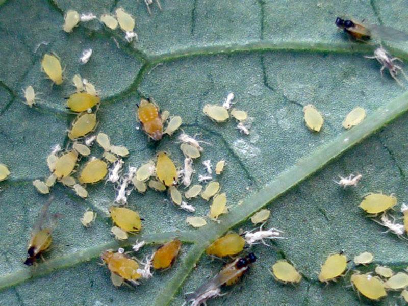 Трипсы на комнатных растениях: лечение