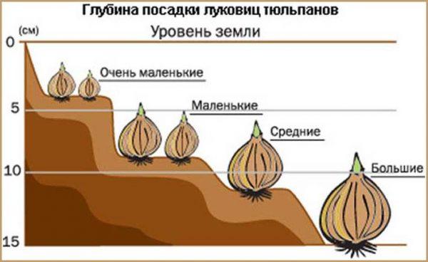 На какую глубину высаживать луковицы