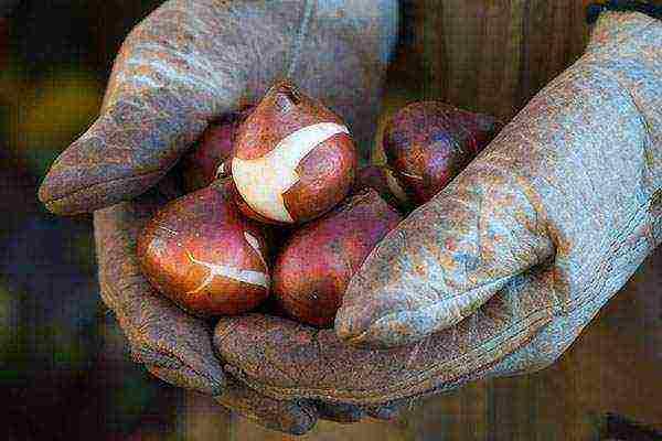 тюльпаны посадка и уход в открытом грунте осенью в сибири