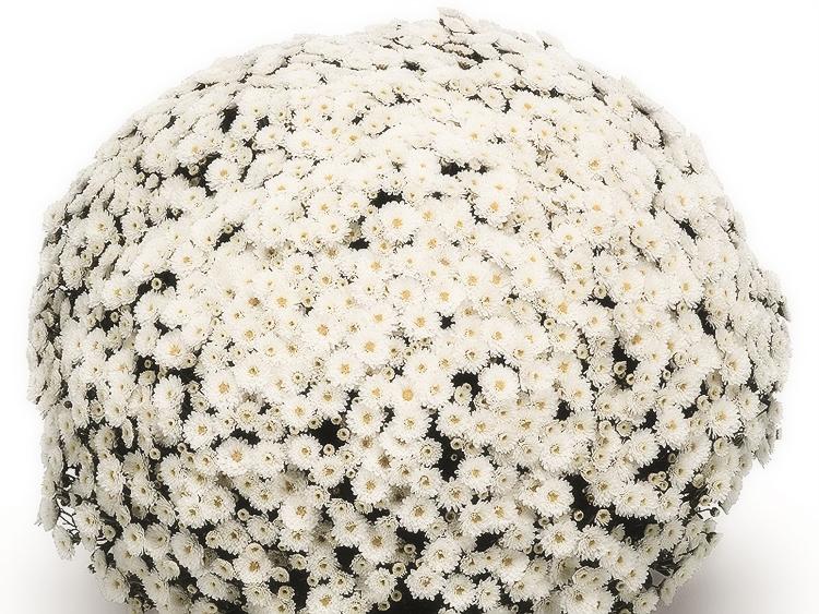Выращивание хризантем мультифлора: правила посадки и ухода