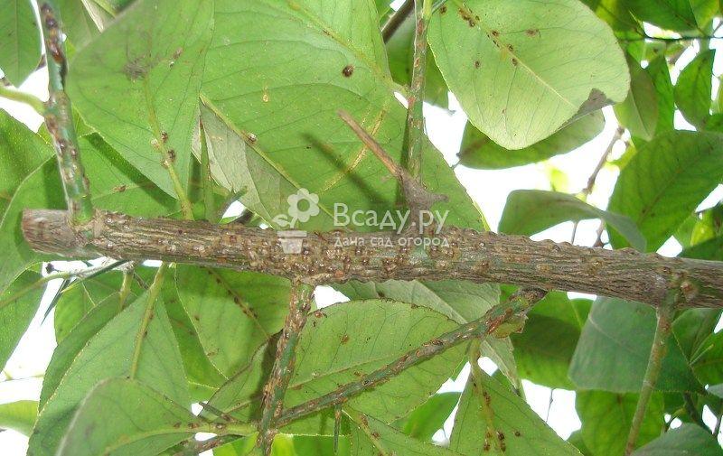 Зараженные гоммозом листья и ствол лимона