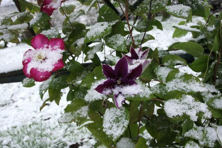 Защита клематисов на зиму