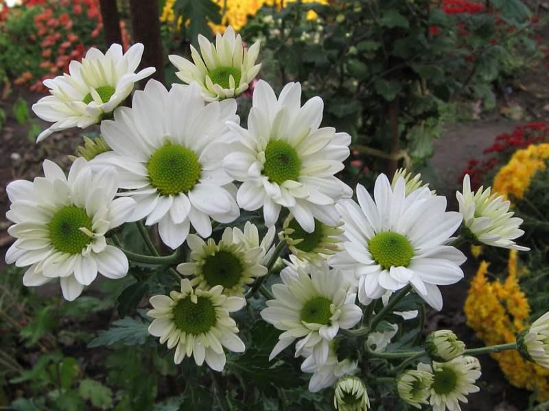 Хризантема Бакарди Уайт в открытом грунте