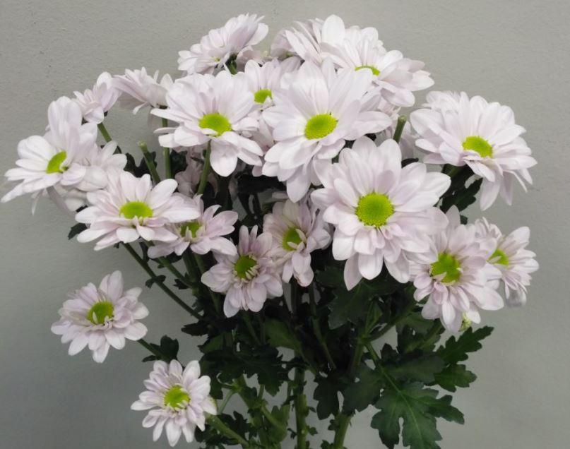 Хризантема Бакарди Уайт