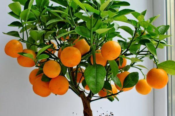 Комнатный мандарин - распространенное растение в доме