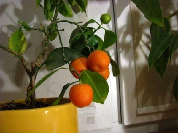 Клементин - гибрид мандарина с апельсином