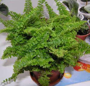 Домашний папоротник - это небольшое привлекательное растение