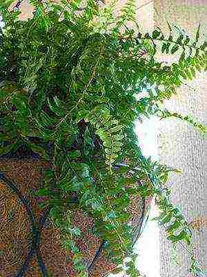 как правильно выращивать папоротник в домашних условиях