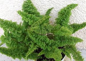 Декоративный папоротник можно выращивать в доме.