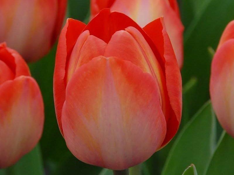 тюльпан ван эйк