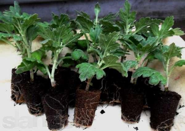 Хризантему лучше посадить в сентябре