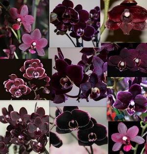 Чёрная орхидея цветок