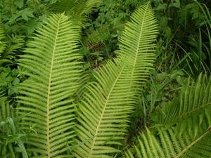 Особенности строения растений папоротников