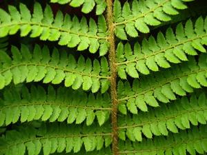 Сорта папоротниковых растений