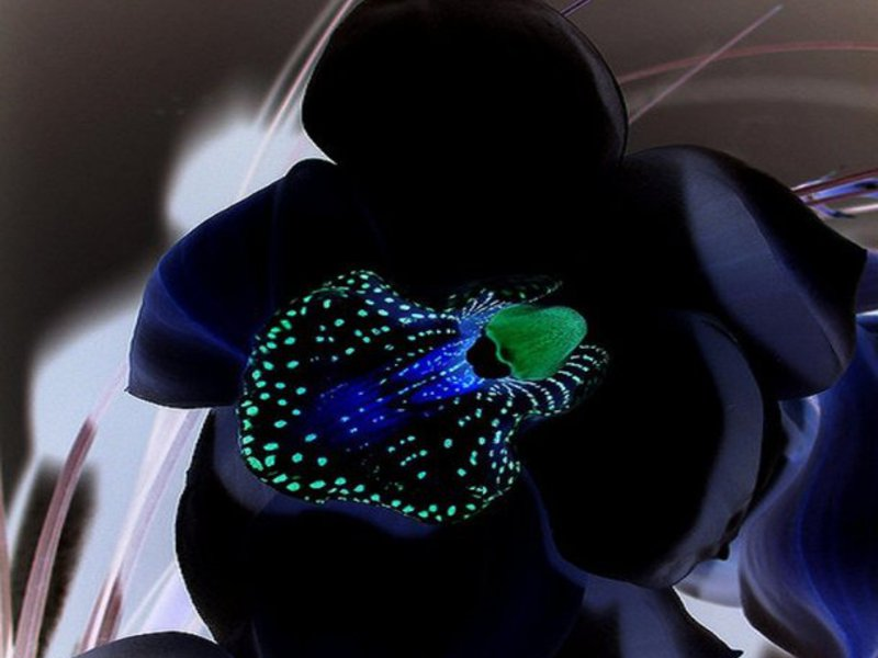 Полив черной орхидеи