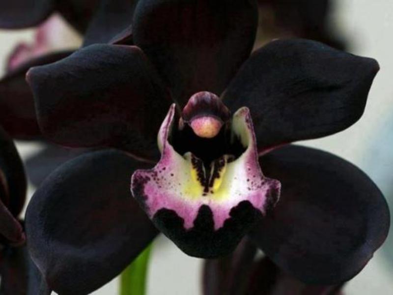 Описание цветка черной орхидеи