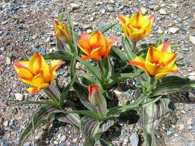 Сорт тюльпана Кейп Код (Cape Cod) описание и фото.