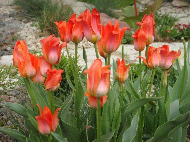 Сорт тюльпана Оранж Торонто (Orange Toronto) описание и фото.
