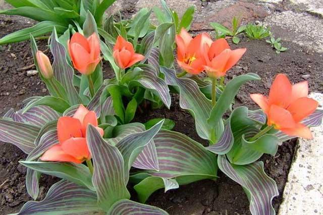 Сорт тюльпана Свит Леди (Sweet Lady) описание и фото.