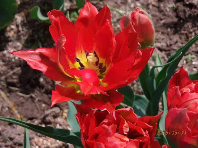 Сорт тюльпана Торонто (Toronto) описание и фото.